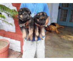 GERMAN SHEPHERD pups for sale in Low Price in Vadodra Gujarat Call 8708195233