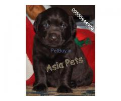 Labrador pups for sale in delhi