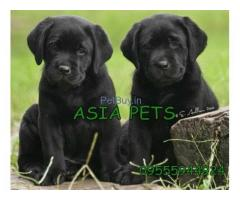 Black labrador pups for sale in delhi