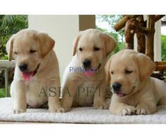 golden labrador pups for sale in delhi