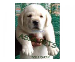 Labrador puppy price in india