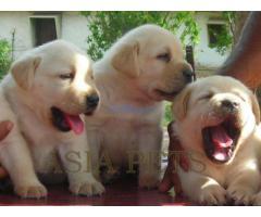 labrador puppies for sale in delhi ncr