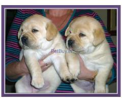 labrador pups for sale in delhi ncr