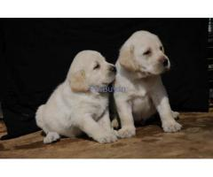 labrador puppy for sale in gurgaon