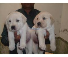 labrador pups for sale in gurgaon