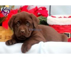 Chocolate Labrador puppies for sale in delhi