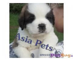 Saint Bernard Puppy Price In India