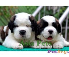 Saint Bernard Puppy Price In India