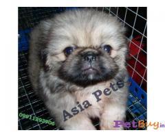 Pekingese-puppy-price-in-india