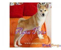Japanese akita pup for sale india
