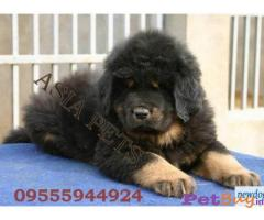 Tibetan Mastiff Price in India | Tibetan Mastiff puppy for sale in Delhi