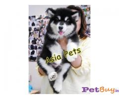 Alaskan malamute puppy for sale in Delhi