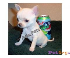 CHIHUAHUA PUPPIES FOR SALE IN INDIA