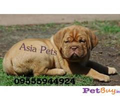 FRENCH MASTIFF PUPPIES FOR SALE IN INDIA