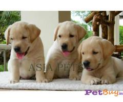 LABRADOR PUPPIES FOR SALE IN INDIA