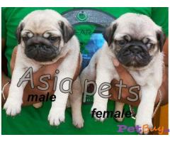 PUG PUPPIES FOR SALE IN INDIA