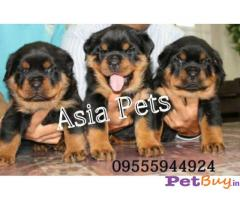 ROTTWEILER PUPPIES FOR SALE IN INDIA