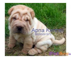 SHAR PEI PUPPIES FOR SALE IN INDIA