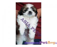 SHIH TZU PUPPIES FOR SALE IN INDIA