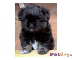 TIBETAN SPANIEL PUPPIES FOR SALE IN INDIA