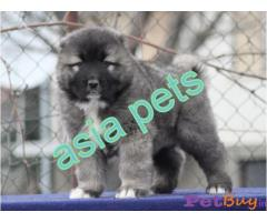 Caucasian Shepherd Dog Puppies For Sale in India