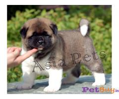 AKITA PUPPY FOR SALE IN INDIA