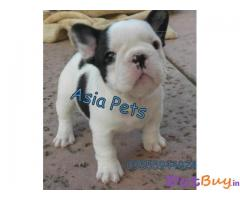 FRENCH BULLDOG PUPPY FOR SALE IN INDIA