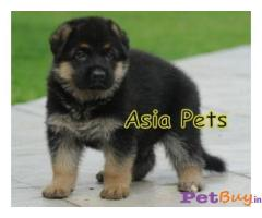 GERMAN SHEPHERD PUPPY FOR SALE IN INDIA