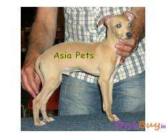 GREYHOUND  PUPPY FOR SALE IN INDIA