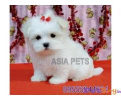MALTESE PUPPY FOR SALE IN INDIA
