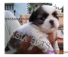 SHIH TZU PUPPY FOR SALE IN INDIA
