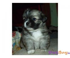 TIBETAN SPANIEL PUPPY FOR SALE IN INDIA