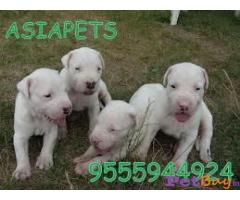 Dogo Argentino Puppy For Sale in INDIA