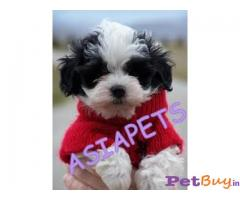 Havanese Puppy For Sale in INDIA