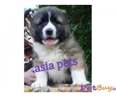 Caucasian Shepherd Dog Puppy For Sale in INDIA