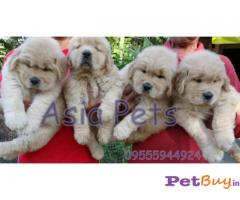 GOLDEN RETRIEVER  PUPS FOR SALE IN INDIA