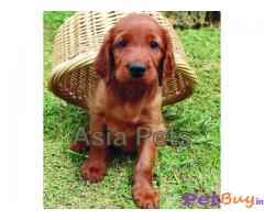 IRISH SETTER PUPS FOR SALE IN INDIA