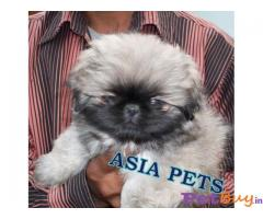 PEKINGESE PUPS FOR SALE IN INDIA