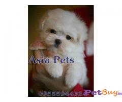MALTESE PUPS FOR SALE IN INDIA