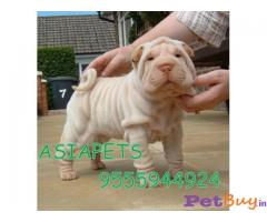 SHAR PEI PUPS FOR SALE IN INDIA
