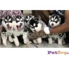 SIBERIAN HUSKY PUPS FOR SALE IN INDIA