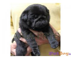 BLACK PUG PUPS FOR SALE IN INDIA