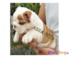 BULLDOG PUPPY PRICE IN INDIA