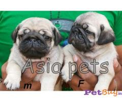 PUG PUPPY PRICE IN INDIA