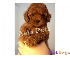 POODLE PUPPY PRICE IN INDIA