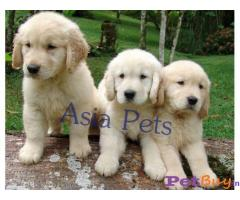GOLDEN RETRIEVER  PUPPIES PRICE IN INDIA