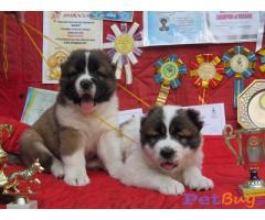 CAUCASIAN SHEPHERD DOG PUPPIES PRICE IN INDIA