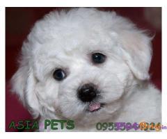 Bichon frise Puppies For Sale in Delhi