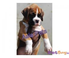Boxer Puppies For Sale in Delhi