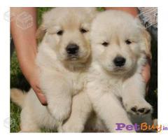 Golden retriever Puppies For Sale in Delhi